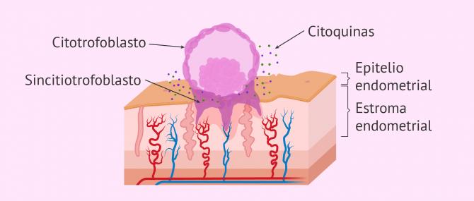 Imagen: Invasión del embrión