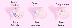 Momento de la ovulación