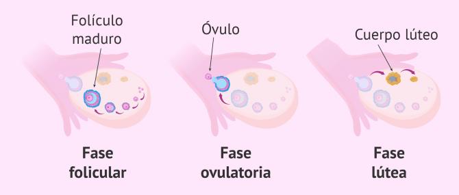 ¿Cuándo se produce la ovulación y qué síntomas tiene?