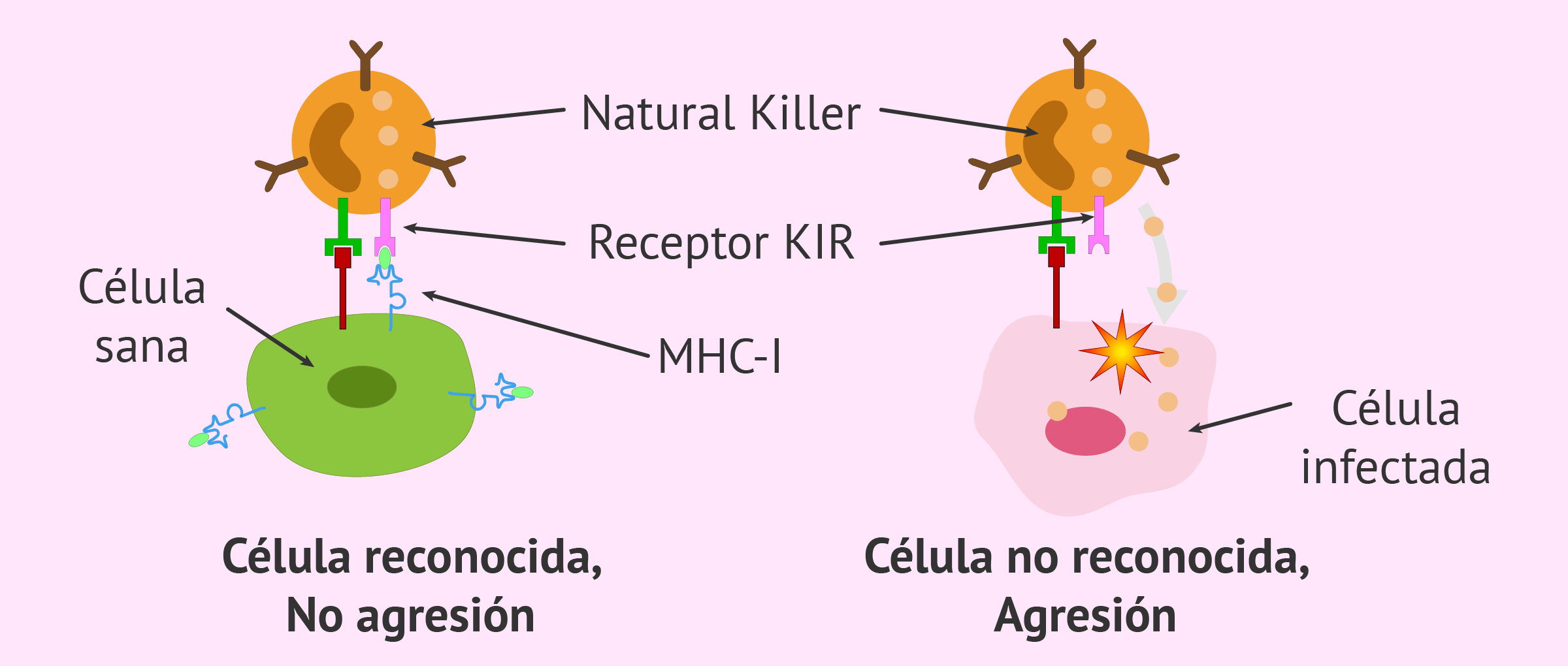 Función de las células Natural Killer