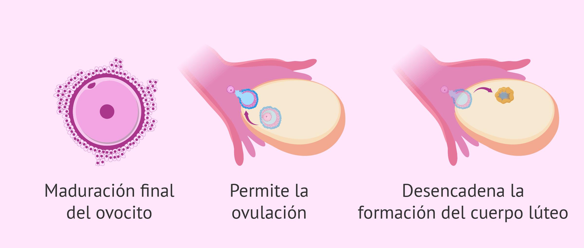 Mecanismos de acción de Ovitrelle