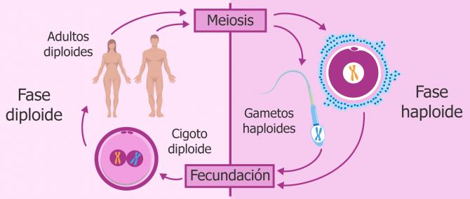 Imagen: Cromosomas con sus parejas