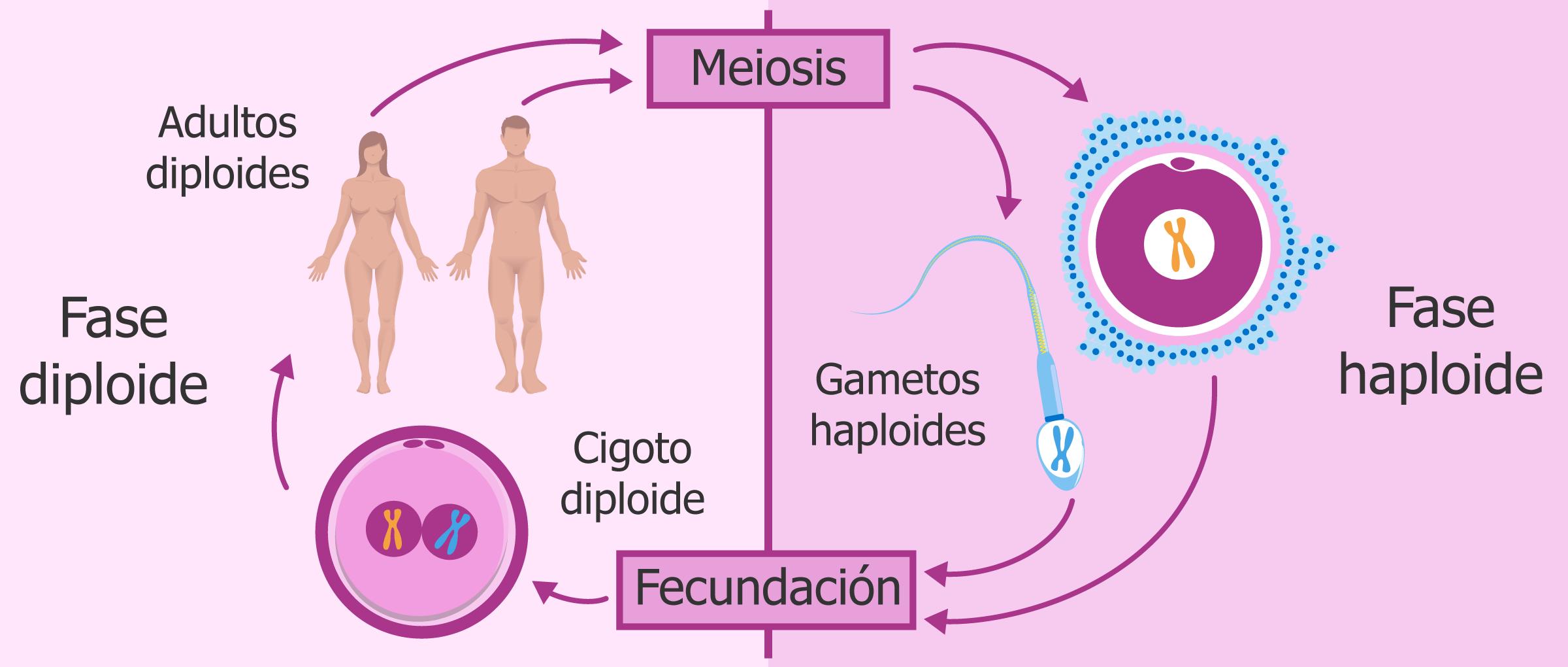 Cromosomas con sus parejas