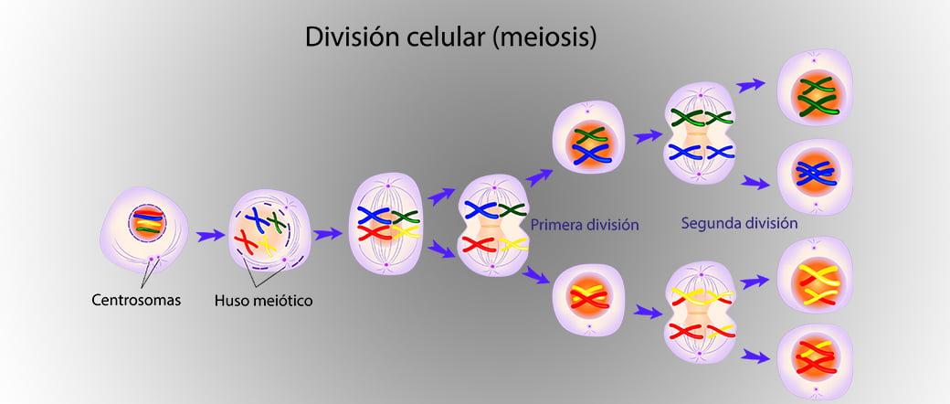 Explicación meiosis