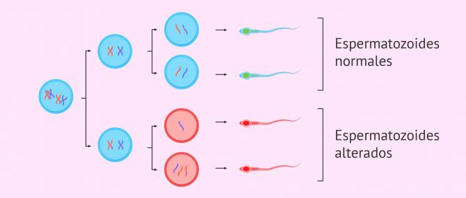 Imagen: Síntesis espermática