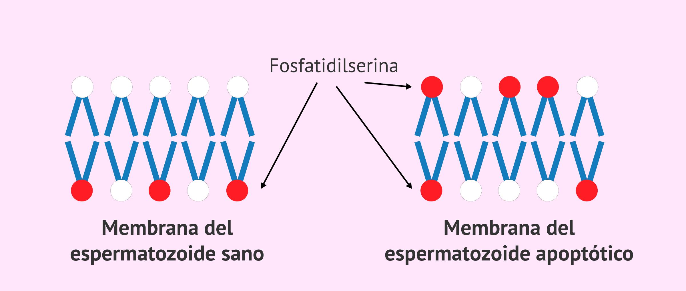 Membrana del espermatozoide apoptótico