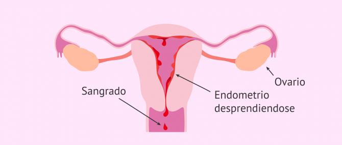 Imagen: Endometrio en la menstruación