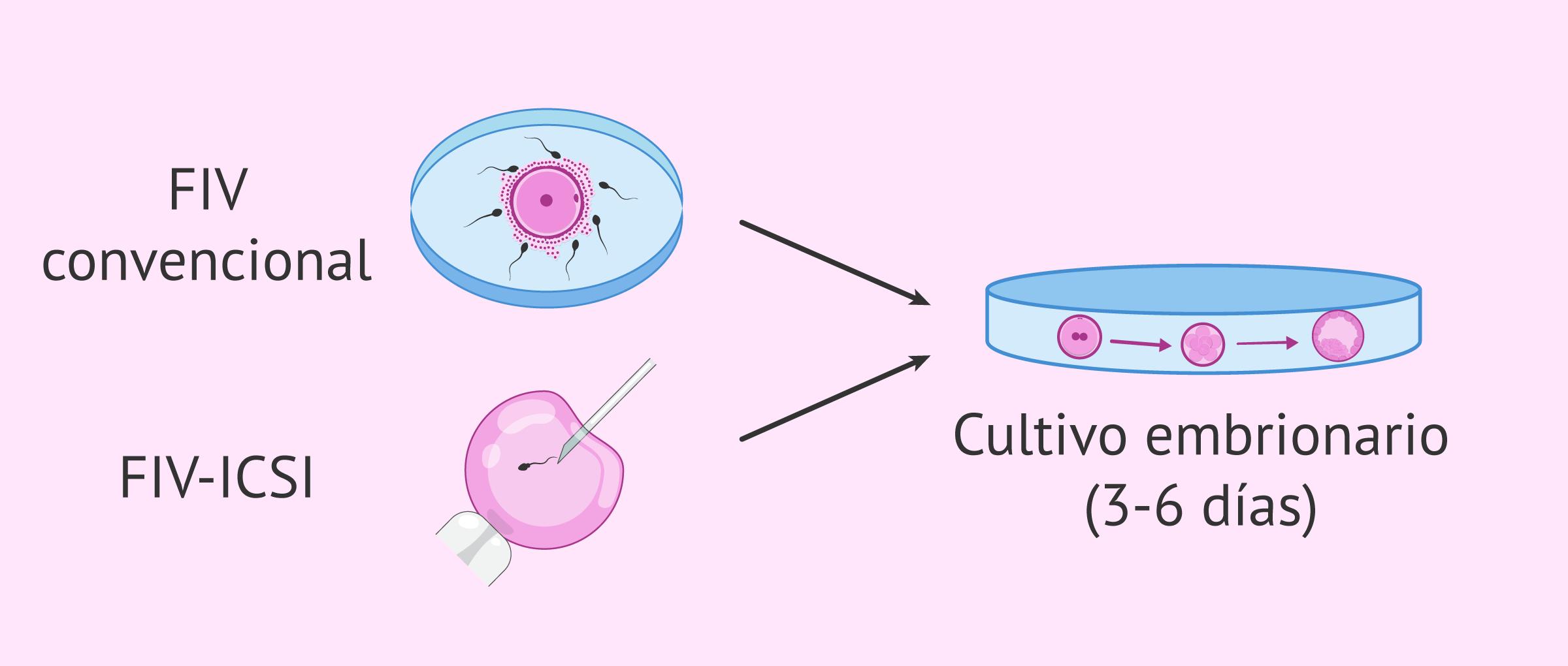 Tipos de fecundación y cultivo embrionario
