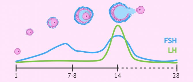 Imagen: Niveles de FSH y LH durante el ciclo menstrual