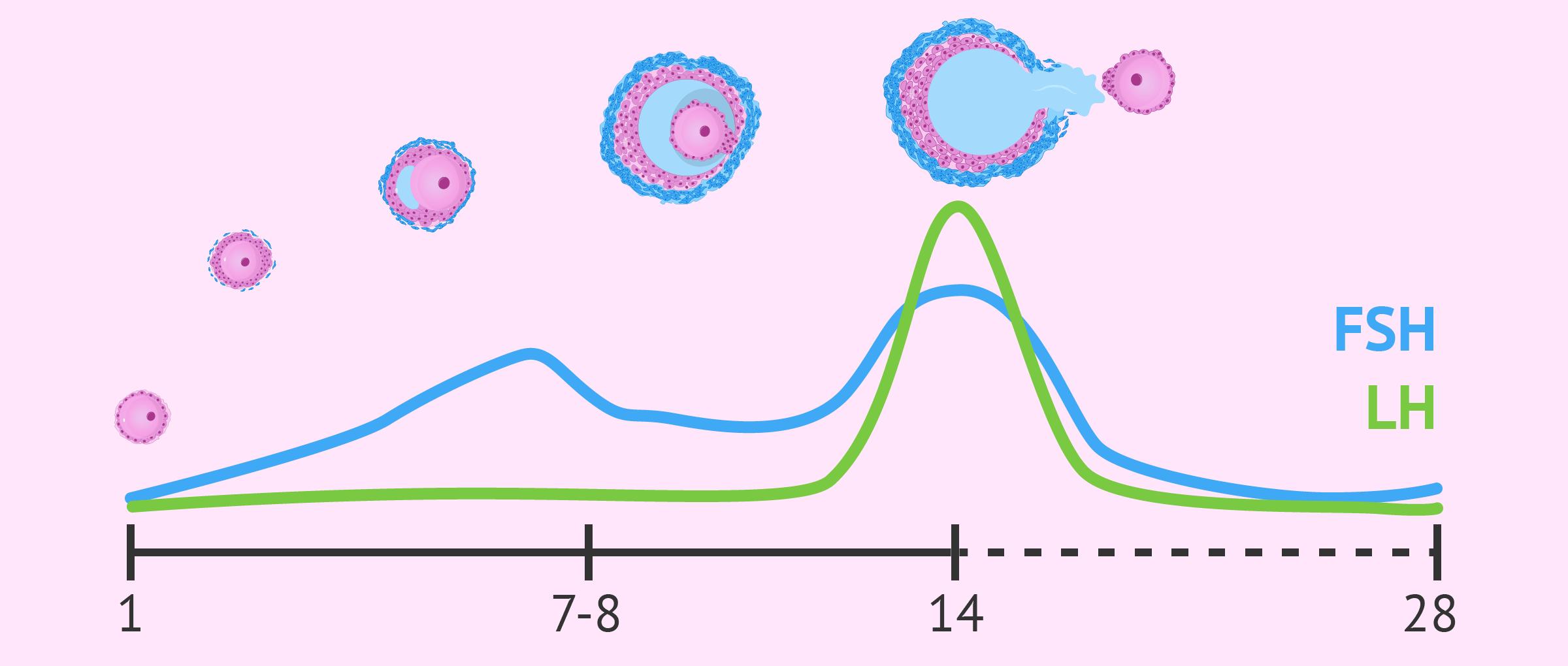 Niveles de FSH y LH durante el ciclo menstrual