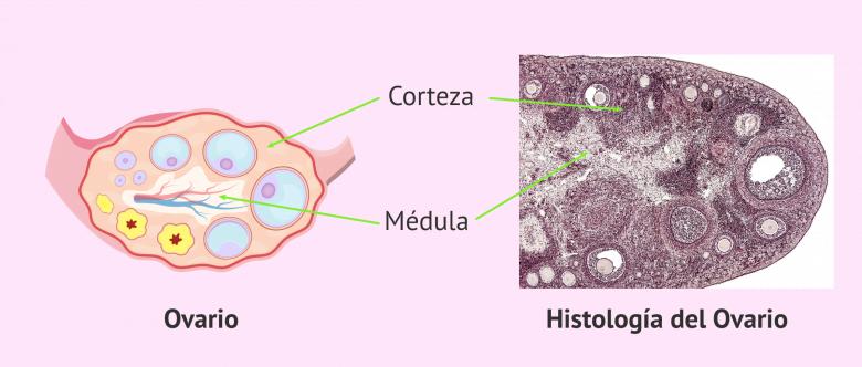 Imagen: Partes del ovario