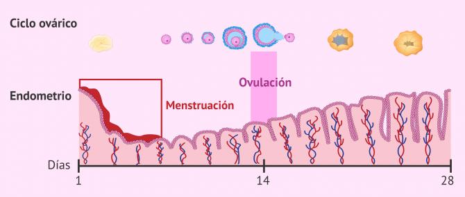 Imagen: Ovulación y menstruación al mismo tiempo