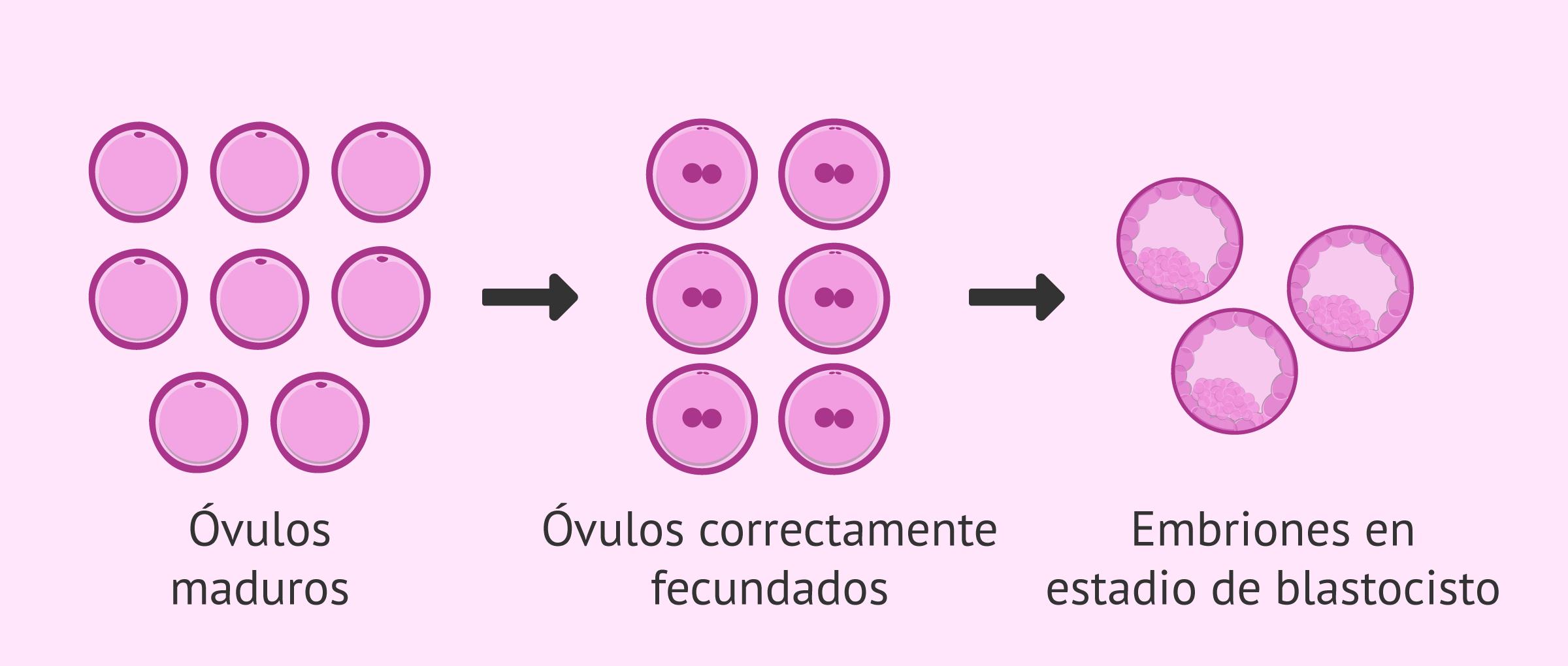 Óvulos obtenidos y número de blastocistos