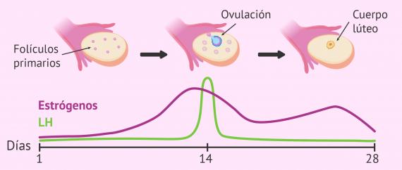 Imagen: Ovulación desencadenada por el pico de LH
