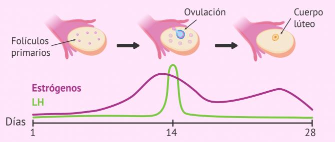 Hormona LH: ¿cuáles son sus funciones en el ciclo reproductivo?