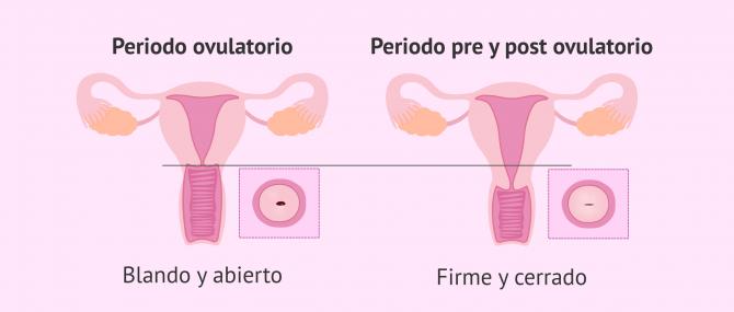 Imagen: Cambios en el cérvix durante el ciclo menstrual