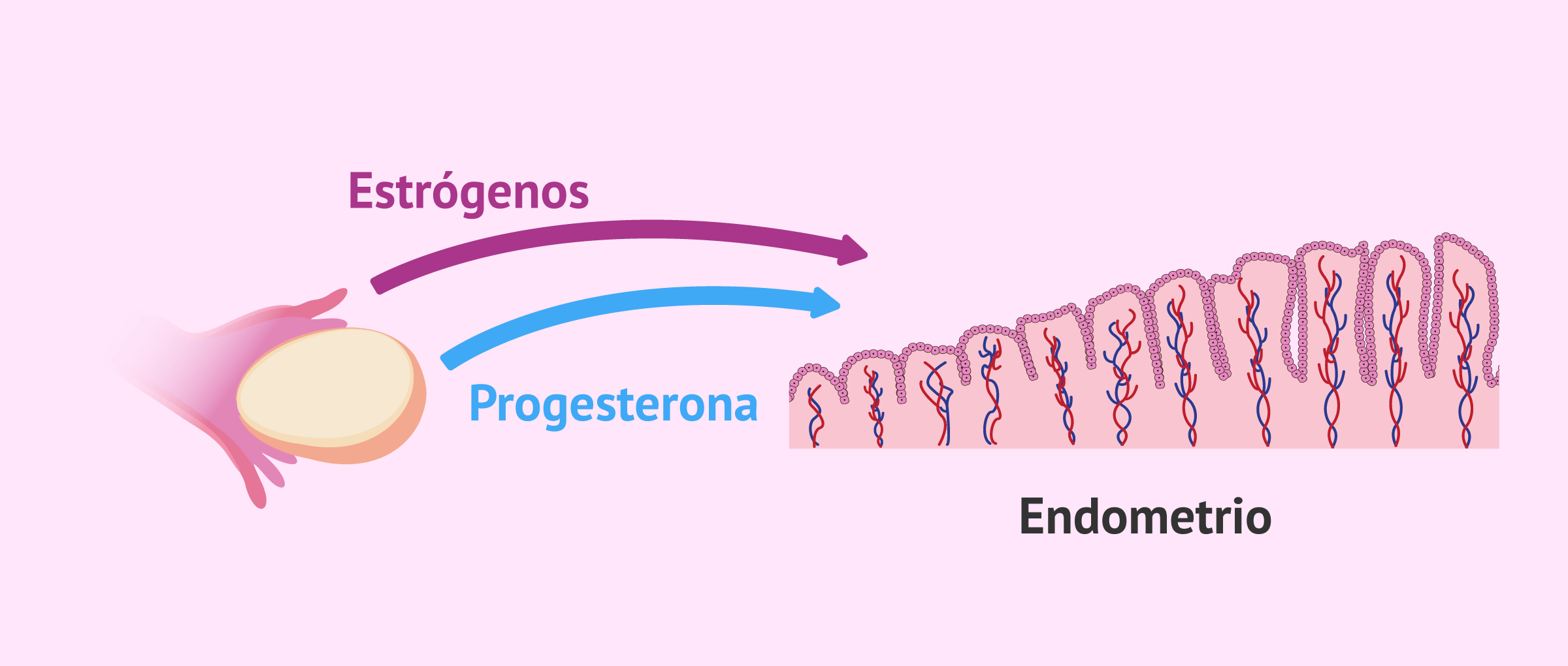 Endometrio y ciclo natural