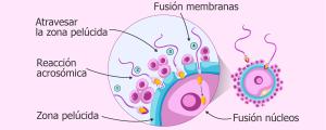 Proceso de fecundación del óvulo