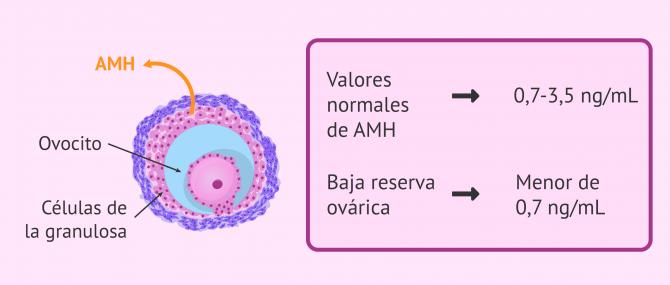 Imagen: Secreción de la hormona Antimulleriana (AMH)