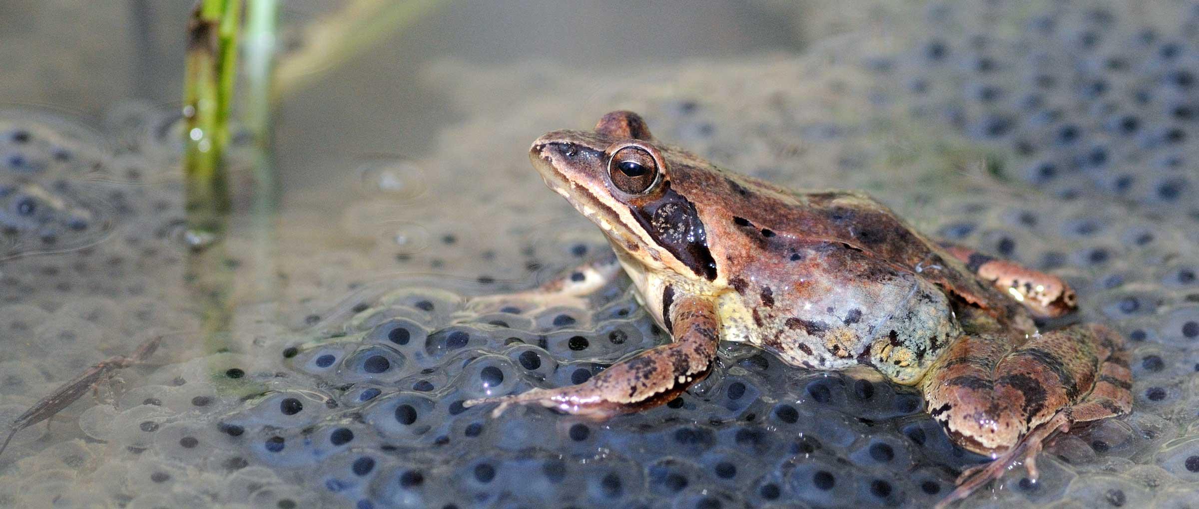 Test de embarazo de la rana
