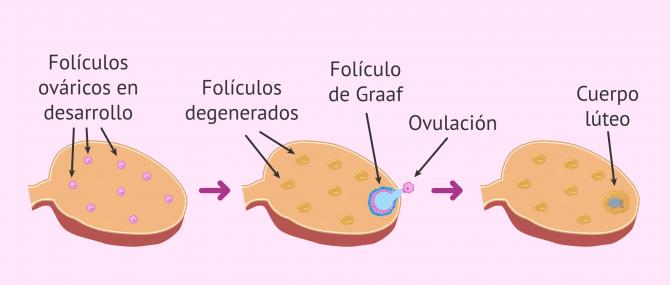 Imagen: El reclutamiento folicular en el ovario