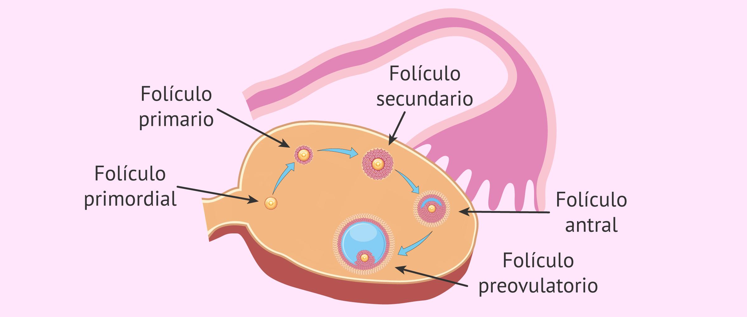 Desarrollo de los folículos ováricos