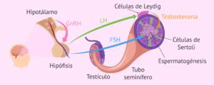 Hormonas implicadas en la producción de espermatozoides