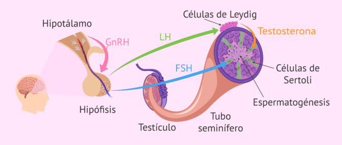 ¿Qué hormonas masculinas están implicadas en la función reproductora?