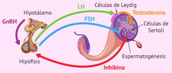 Hormonas implicadas en la espermatogénesis