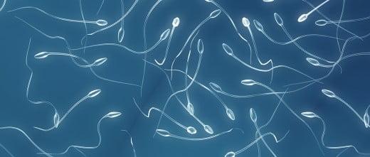 Reproducir la espermatogenesis