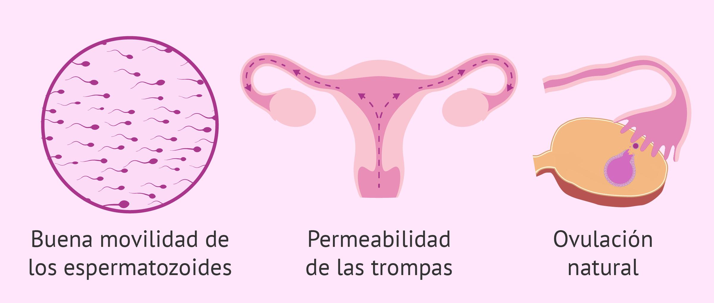 Requisitos para el éxito de la inseminación artificial