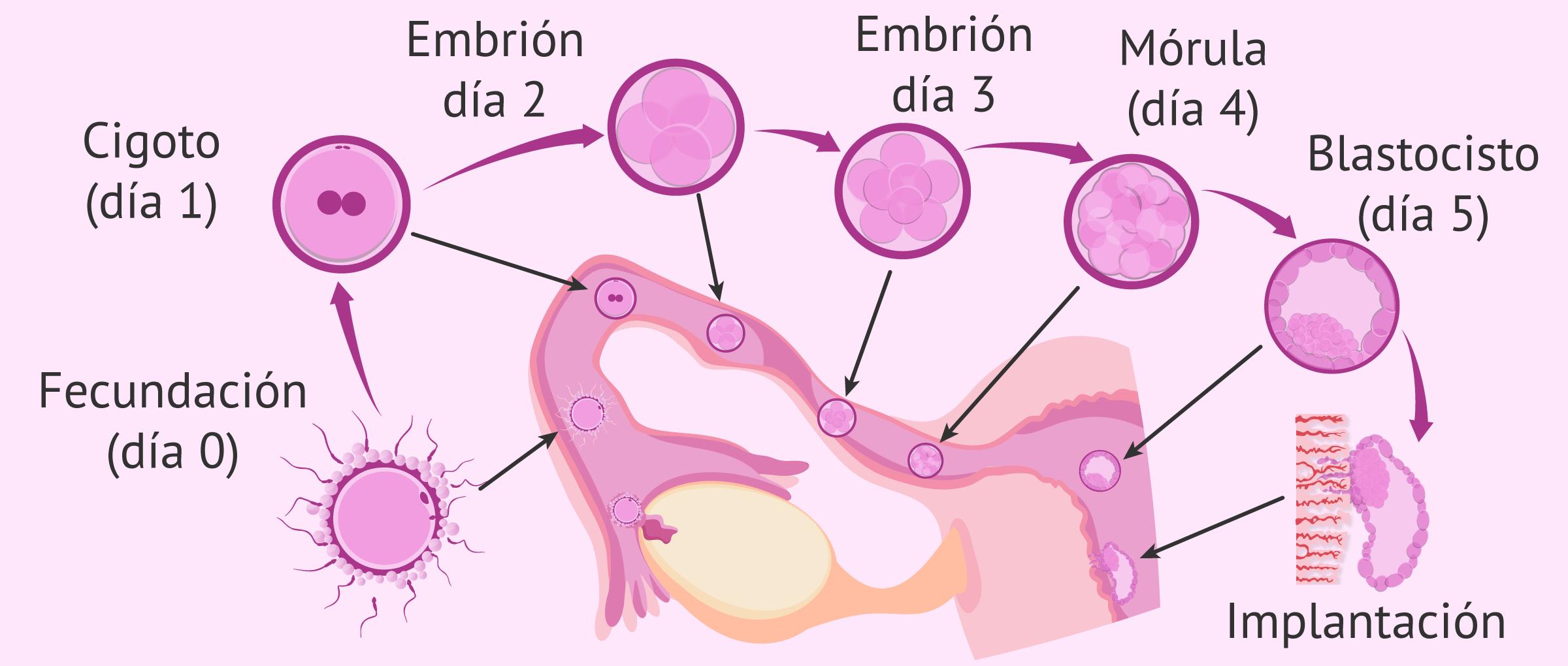 Tercera semana de embarazo: fecundación y desarrollo embrionario