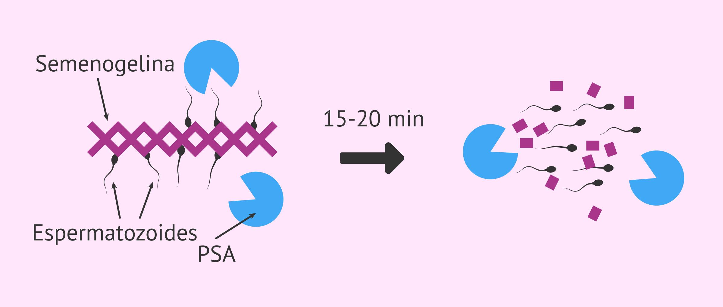 ¿Cómo afecta la densidad del semen a la fertilidad?