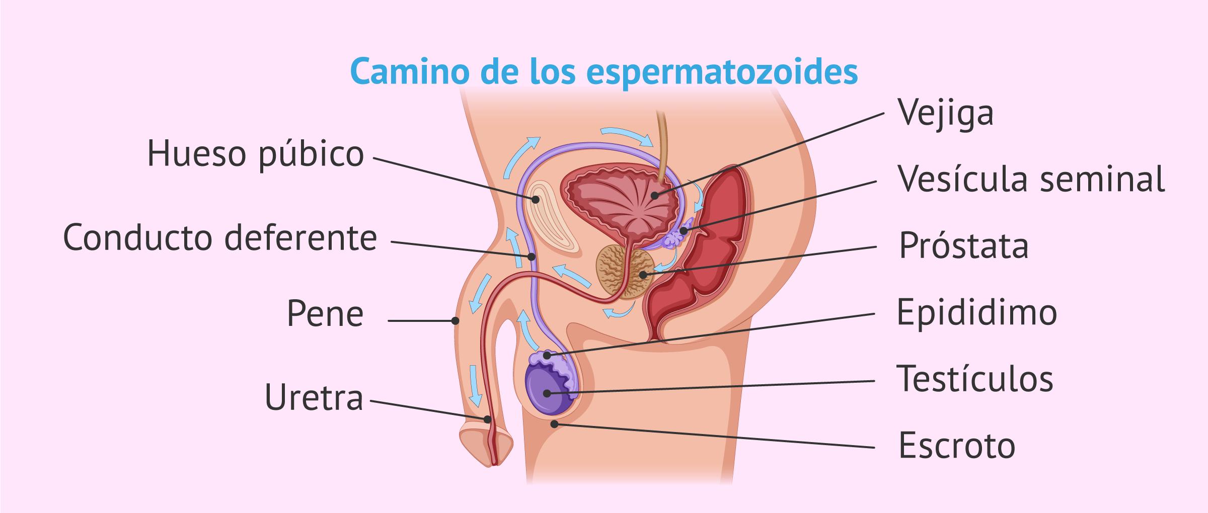 sistema-reproductor-masculino.jpg