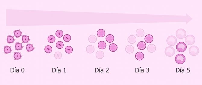Imagen: No todos los embriones llegan a blastocisto