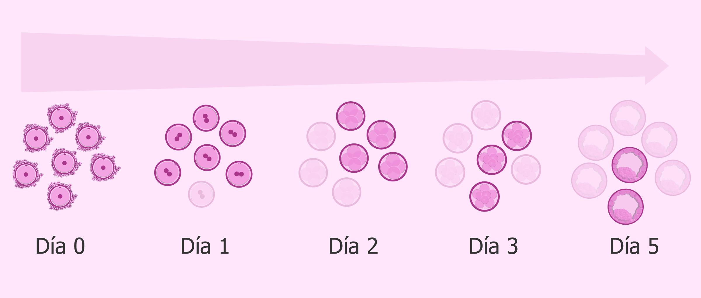 No todos los embriones llegan a blastocisto