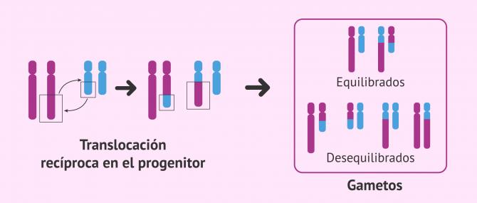 Imagen: Translocación recíproca en el progenitor