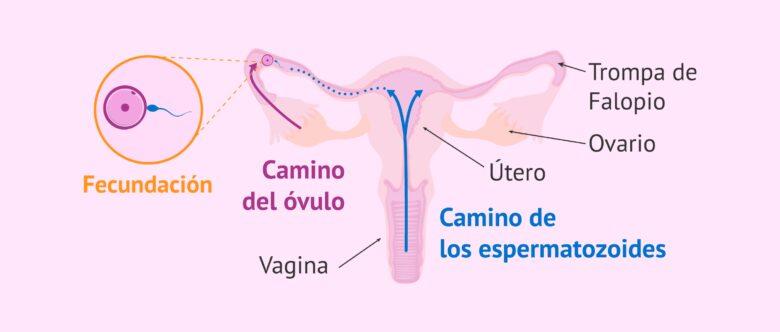 probabilidades de quedar embarazada despues de la menstruacion