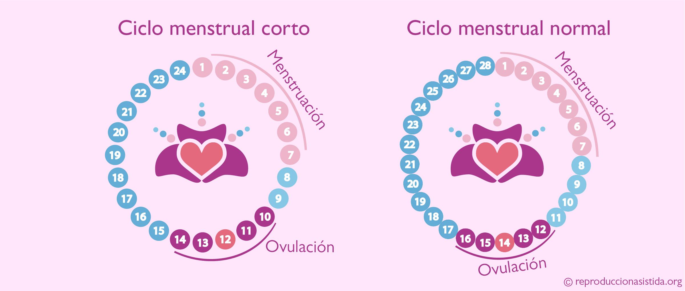 El ciclo menstrual Fertilidad femenina
