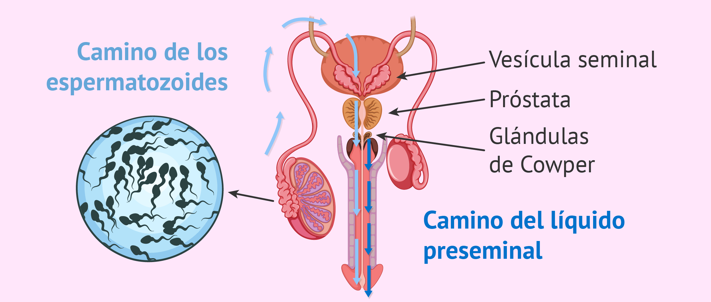 Vistoso Masculinas Imágenes Del Sistema Reproductivo Ideas ...