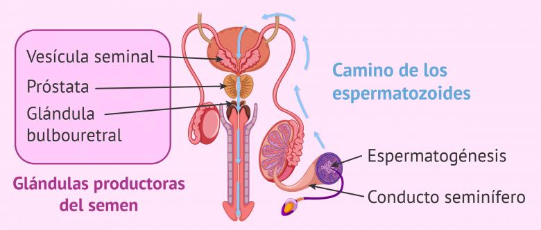 Formación del semen y espermatozoides